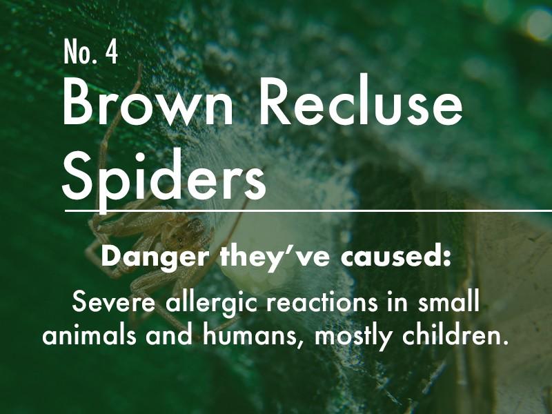 Brown Recluse Spider dangers