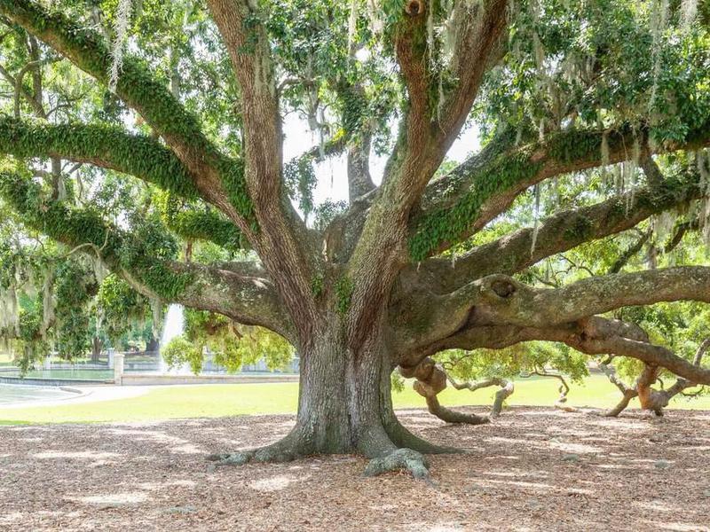 Big tree in Hampton Park