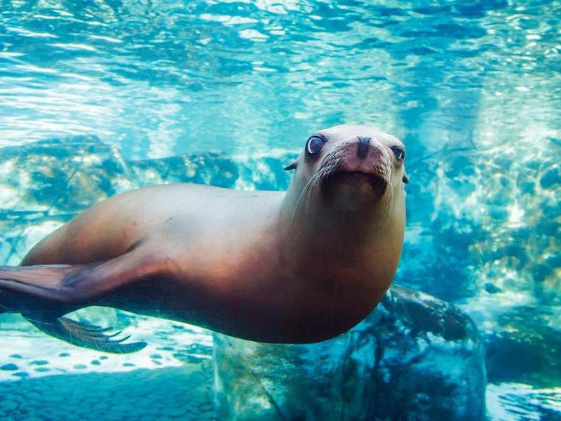 Sea lion at Saint Louis Zoo