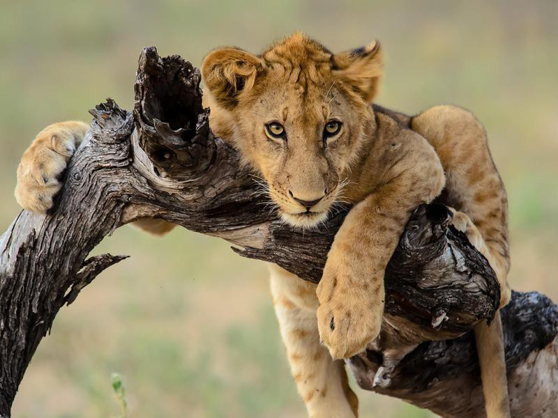 Lion Cub at Selous Game Reserve