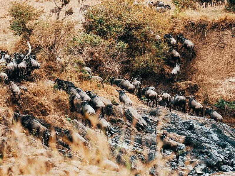 Running of the Wildebeests