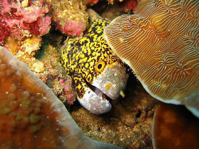 Snowlfake Moray Eel