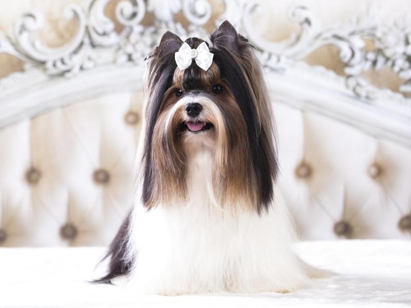 The Biewer Terrier Originated in Germant