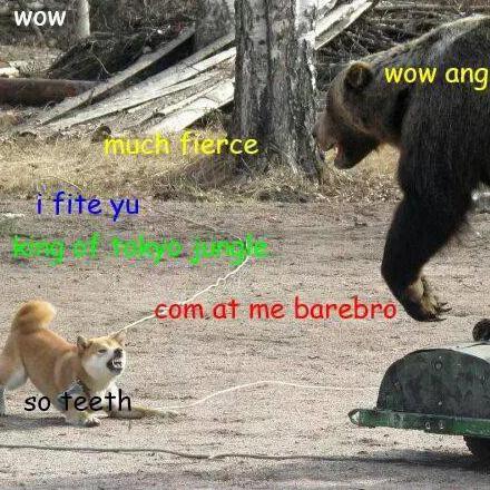 Shiba Inu barking at bear
