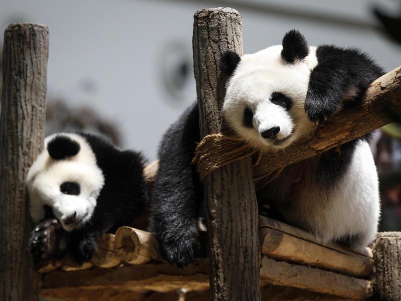 What do pandas do all day?