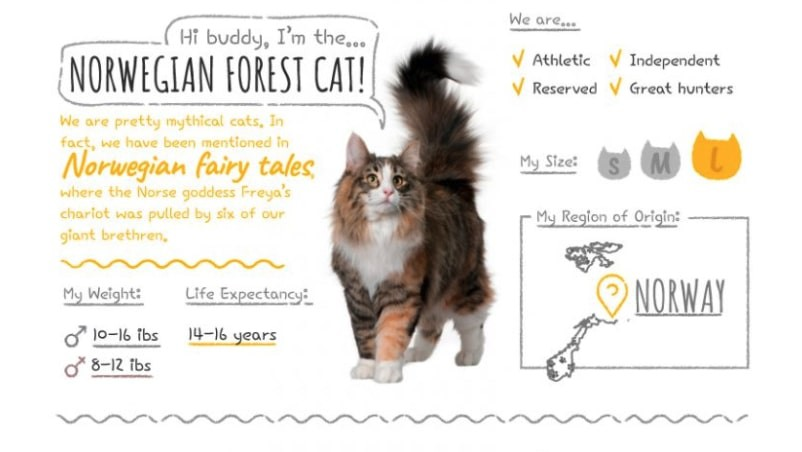 Norwegian Forest Cat Summary