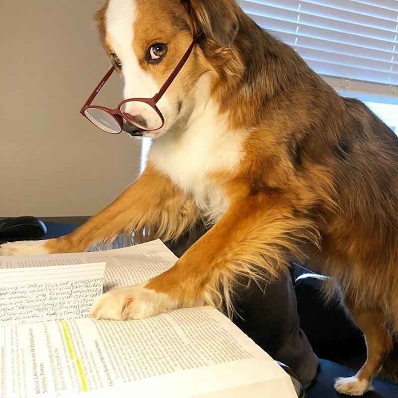 Dog studying