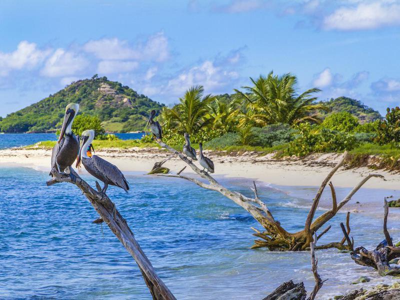 Pelicans on Sandy Island, Grenada