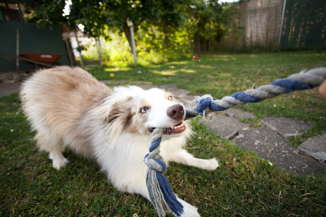 Puppy tugging on a rope
