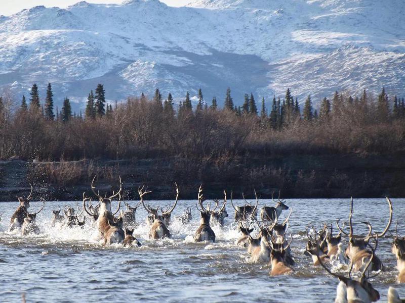 Moose crossing Kobuk River