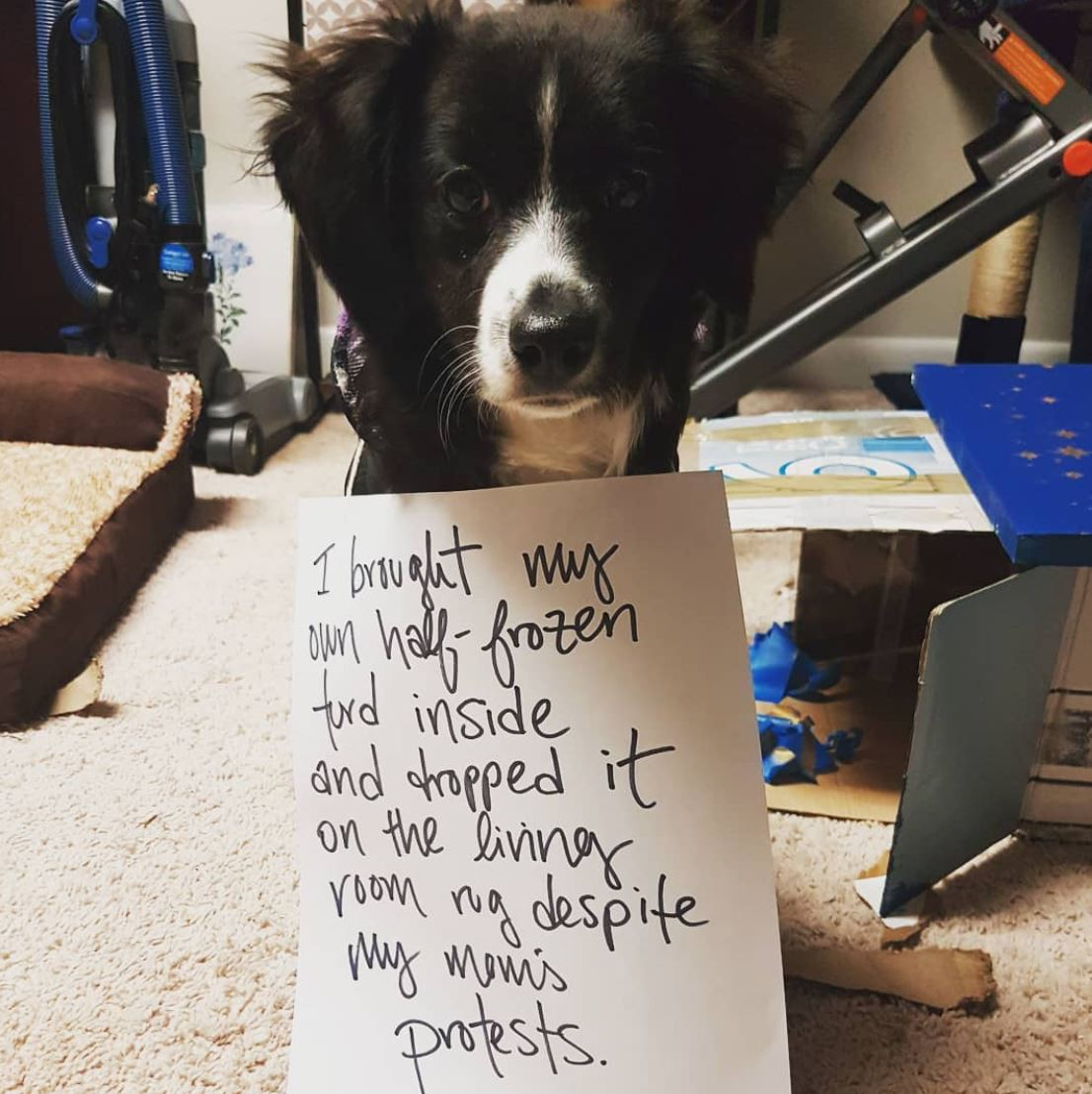 Smally furry white dog being dog shamed