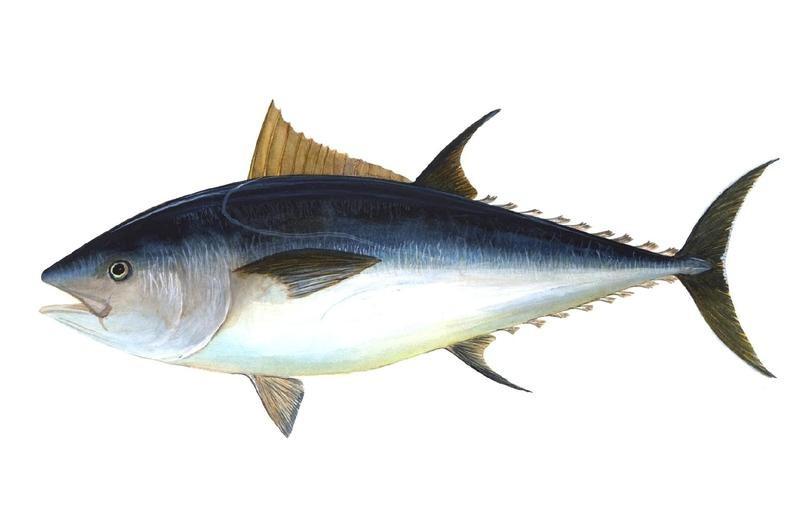 Atlantic Bluefin Tuna Illustration