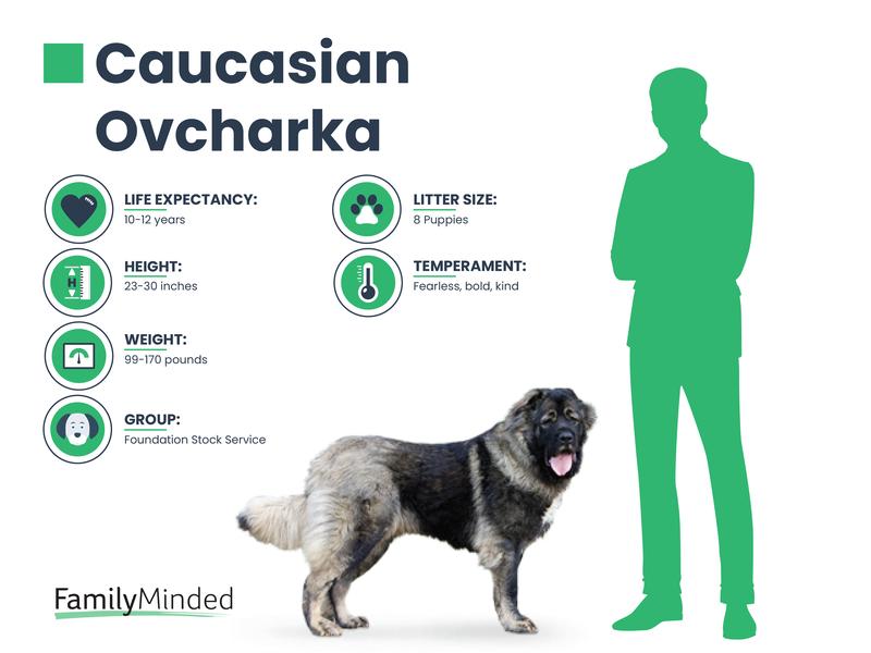 Caucasian breed info