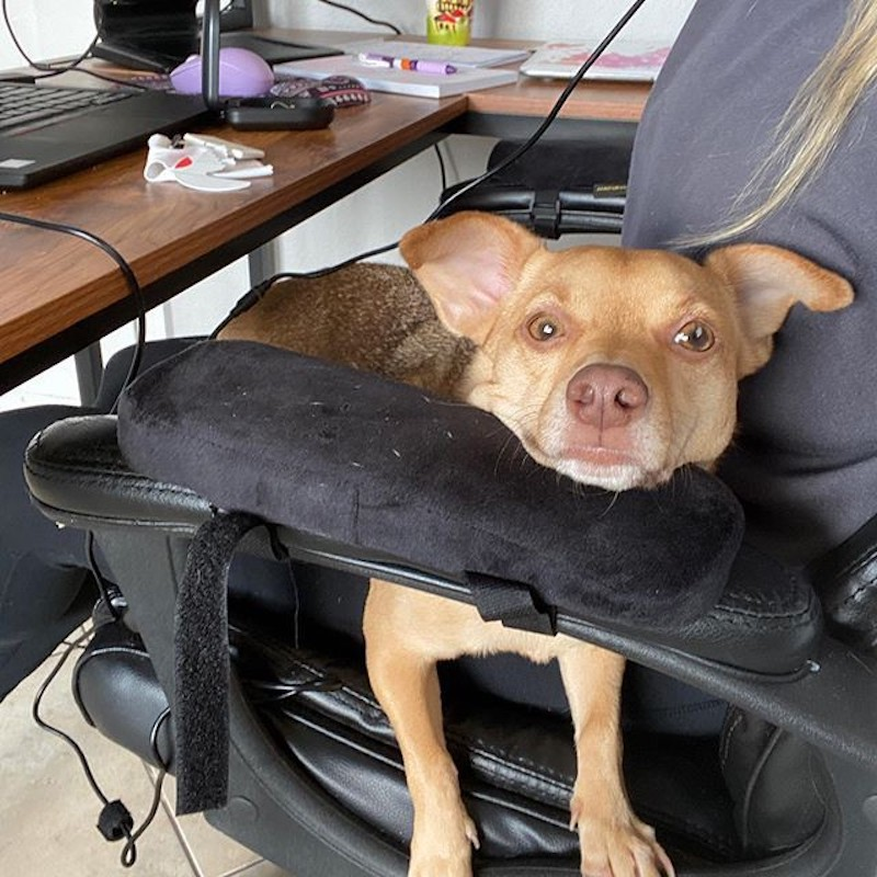Dog in chair at work