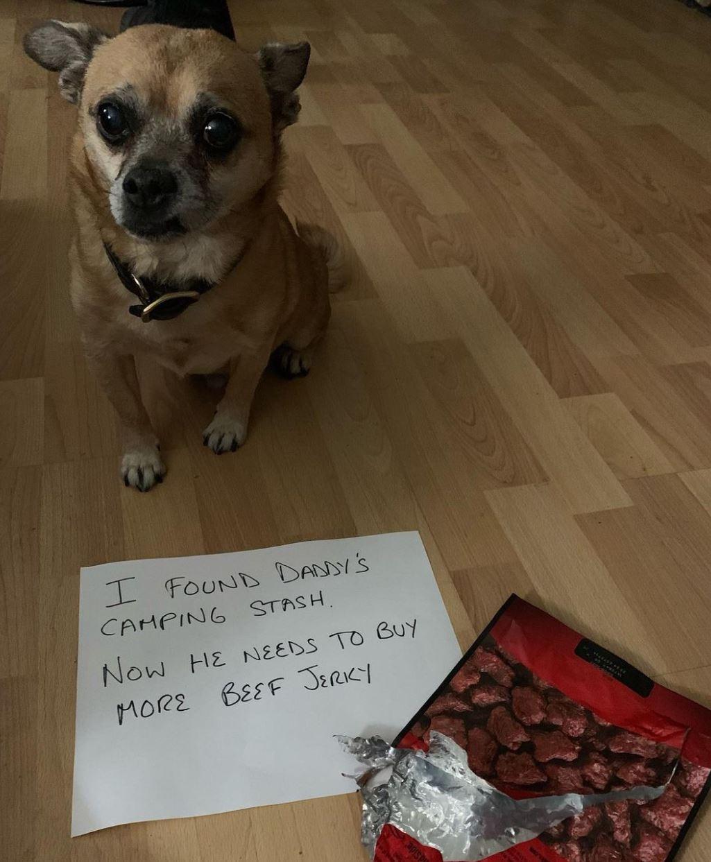 Small dog eats beef jerky