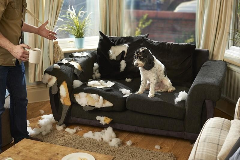 dog chewing couch