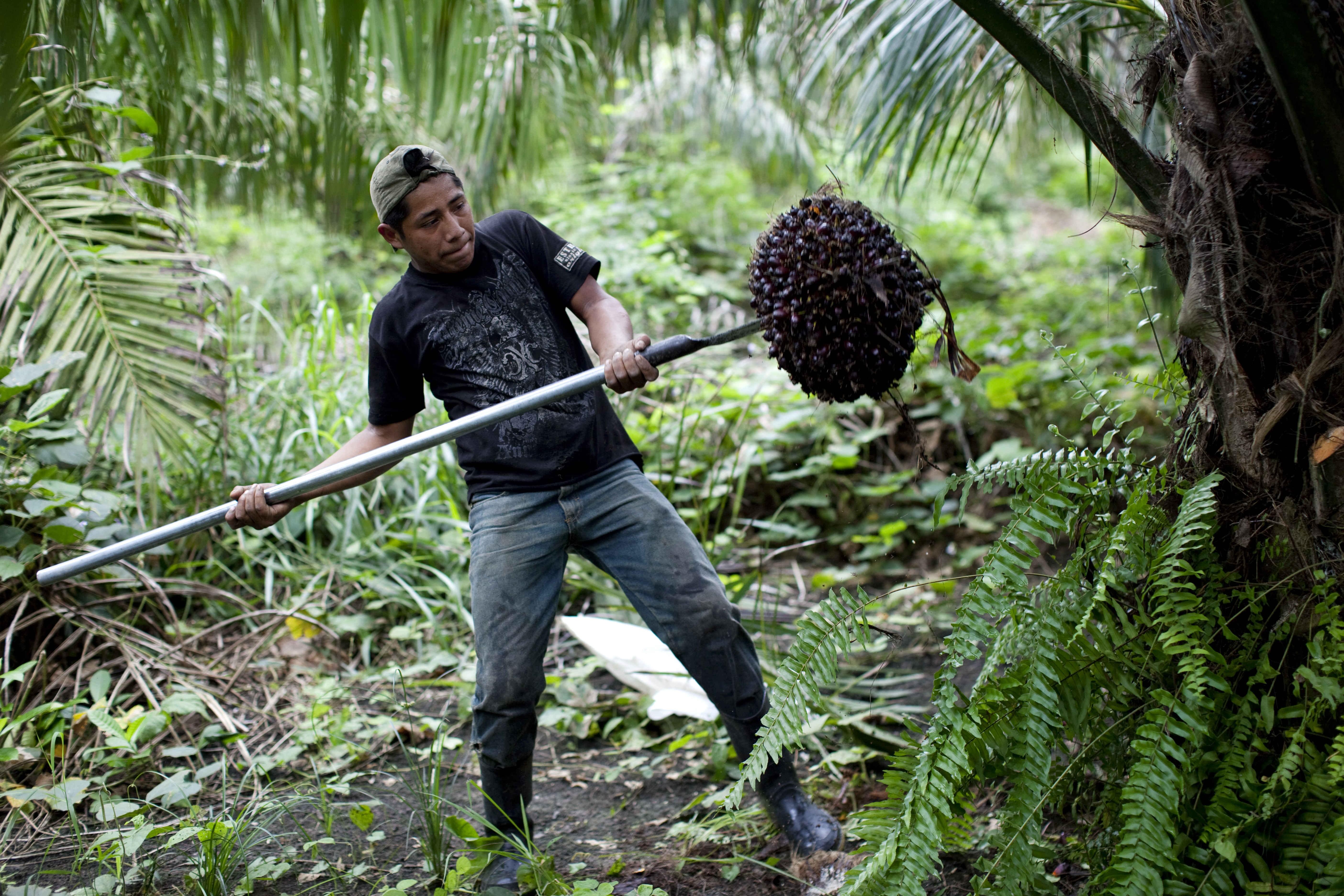 Palm oil in Guatemala
