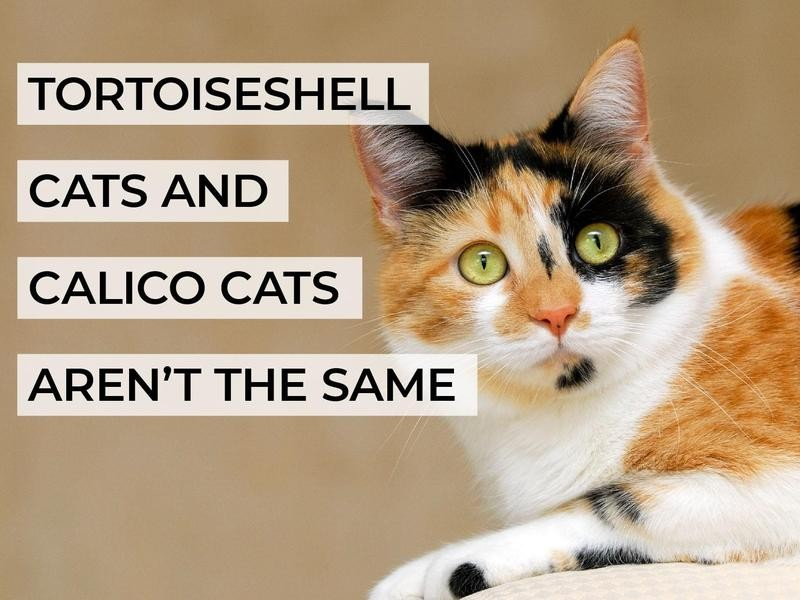 Tortoiseshell Cats and Calico Cats Aren't the Same
