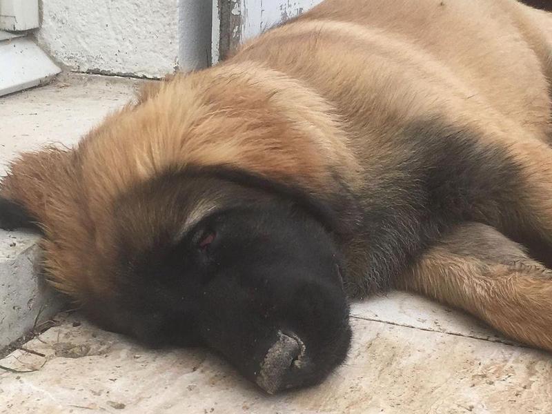 Leonberger puppy sleeping