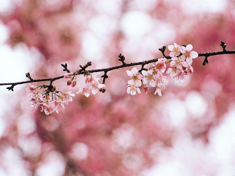 Cherry blossoms in Meghalaya, India