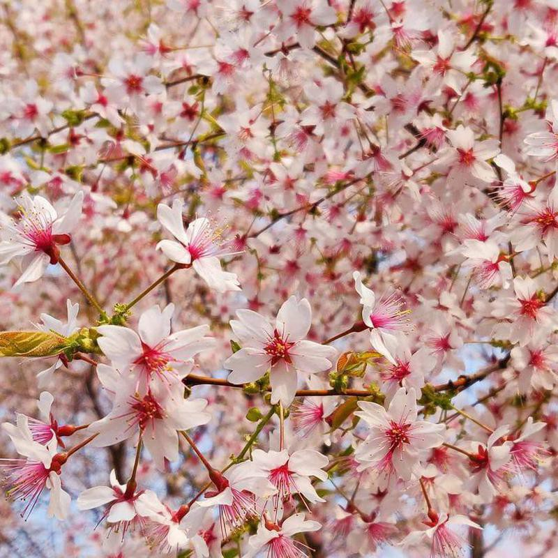 Cherry blossoms in Beijing, Yuyuantan Park