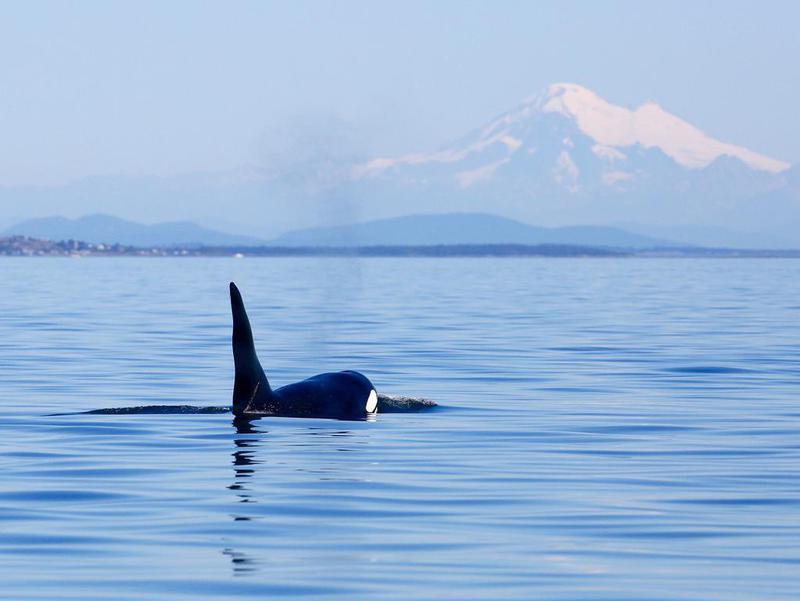 Killer whale in the San Juan Islands, Washington