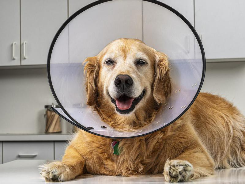 It's Good for a Dog to Lick Their Wounds — Debunked