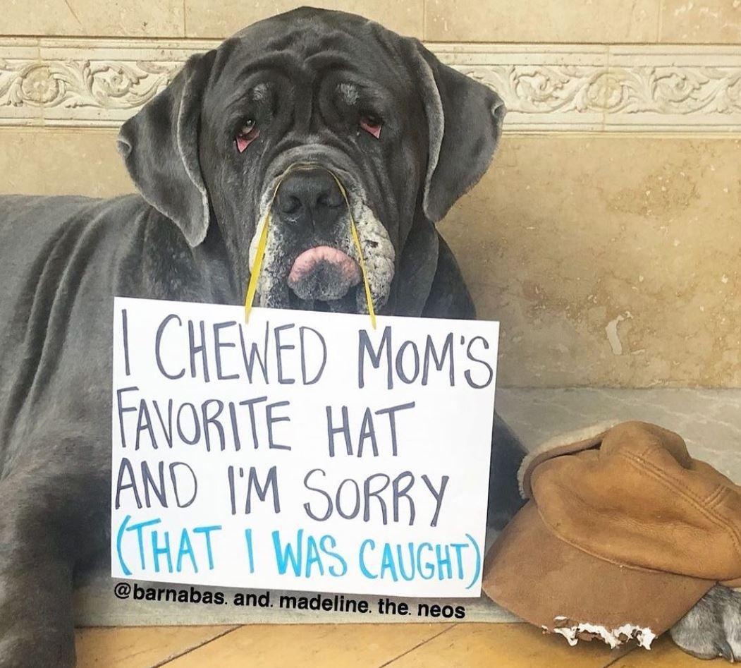 Neapolitan Mastiff at hat