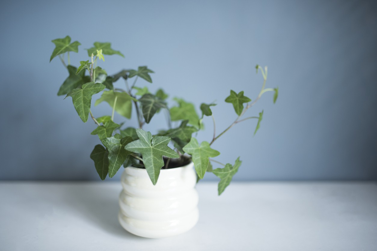 English ivy potted