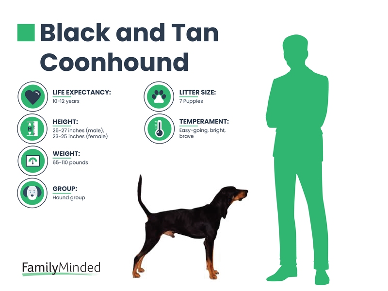 Black and Tan Coonhound breed