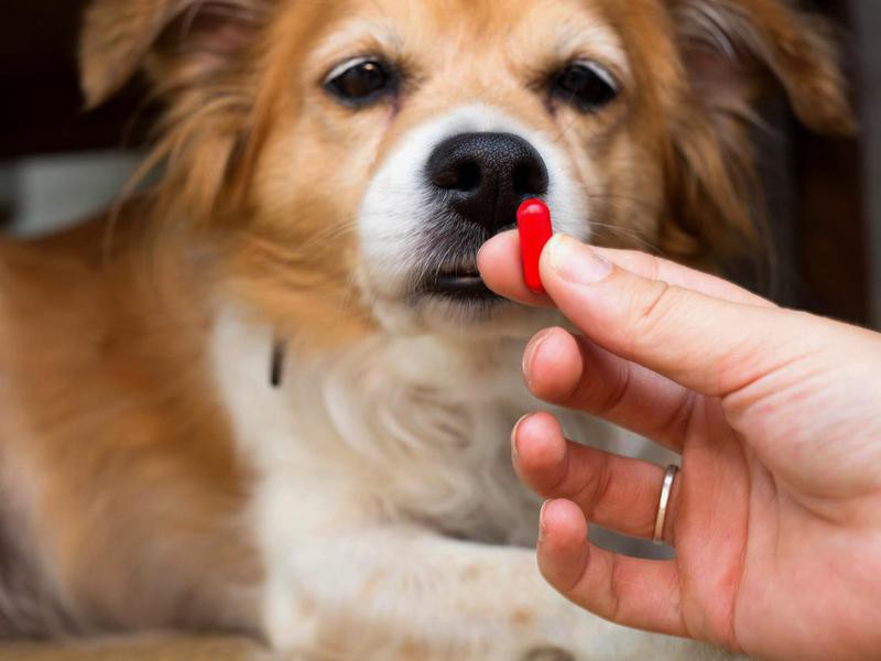 I Can Give My Dog Paracetamol for a Headache — Debunked