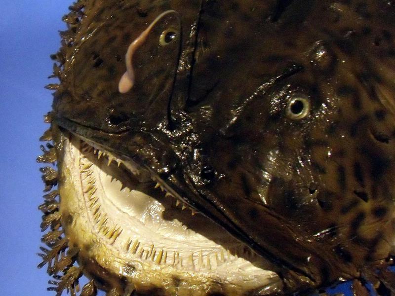Black Monkfish