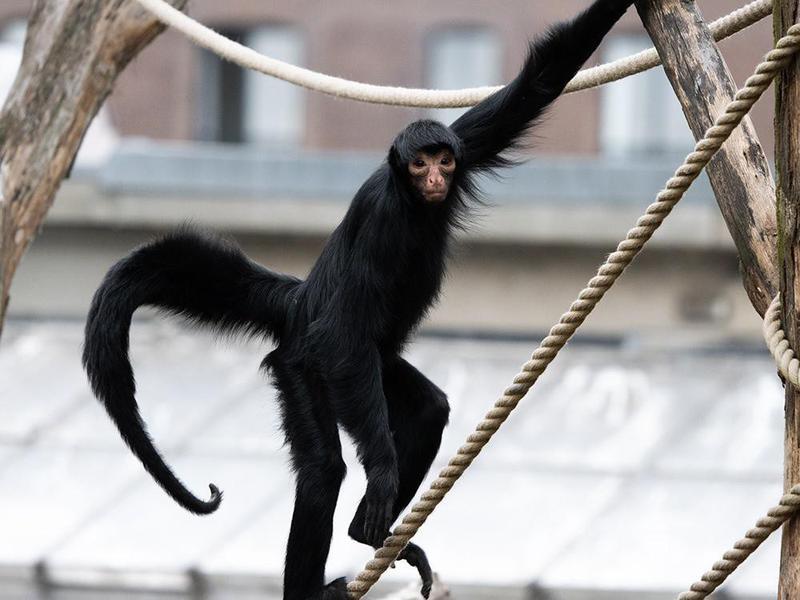 Monkey at the Artis Royal Zoo