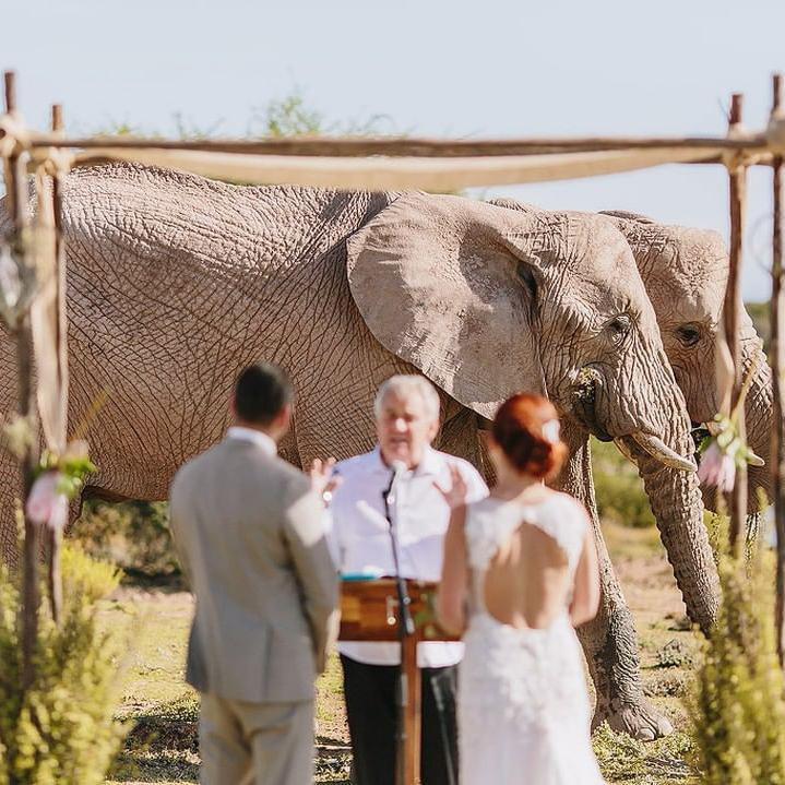 Elephants photobombing wedding