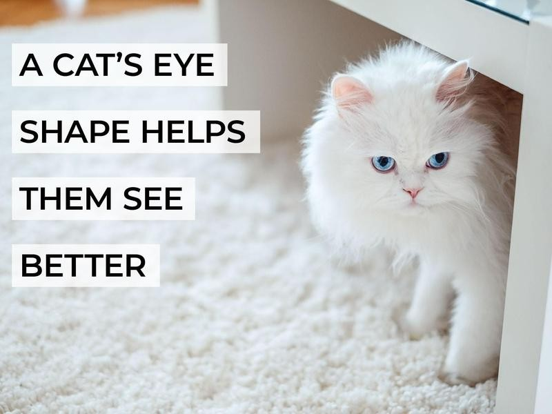 A Cat's Eye Shape Helps Them See Better