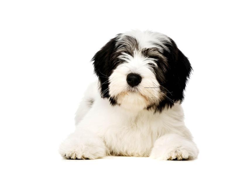 Polish Lowland Sheepdog Puppy