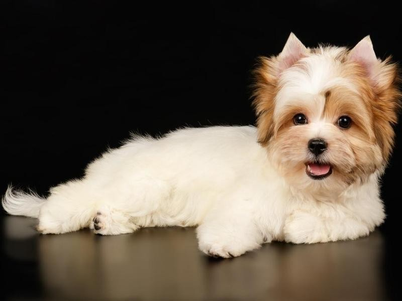 The Biewer Terrier May Have Cropped Ears