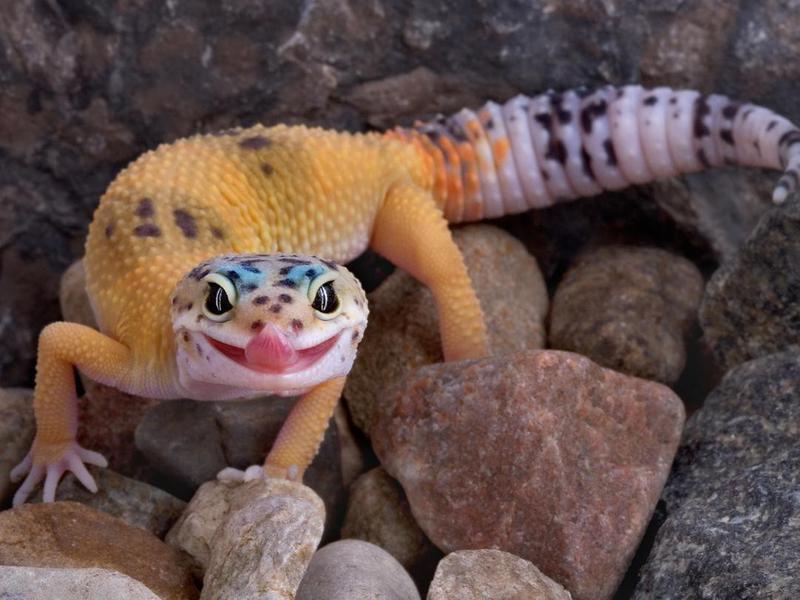 Leopard Gecko, a Low-Maintenance Pet Reptile