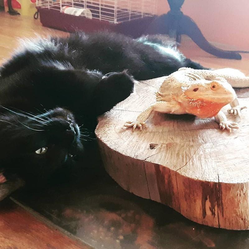 Lizard and black cat