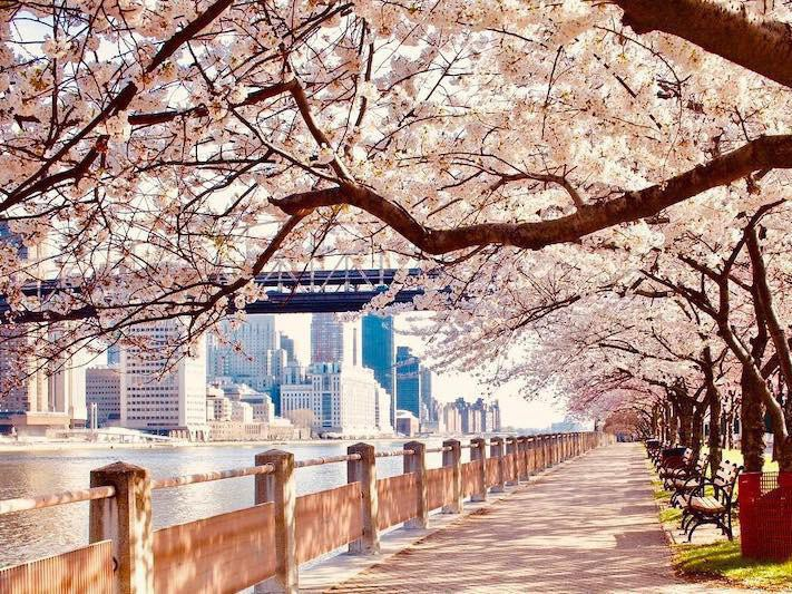 Cherry Blossoms in New York City