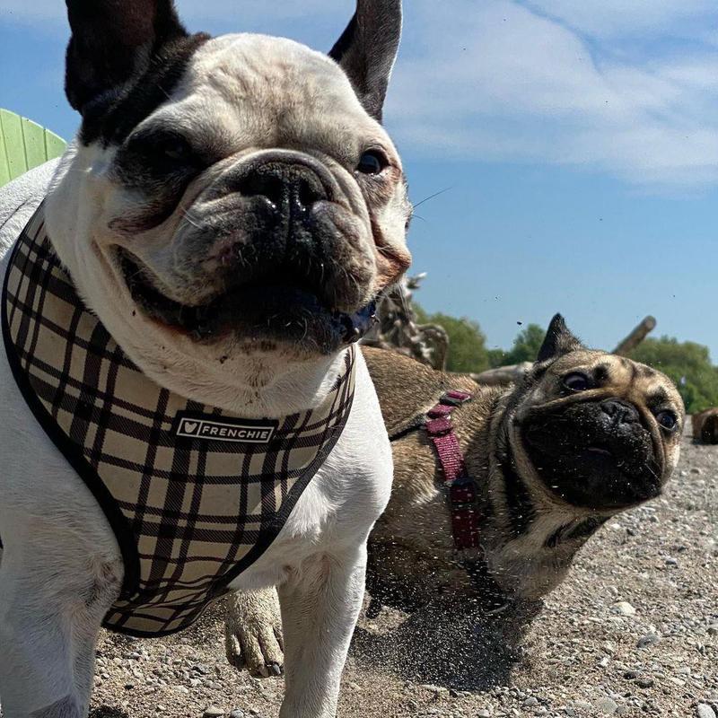 French bulldog photobomb