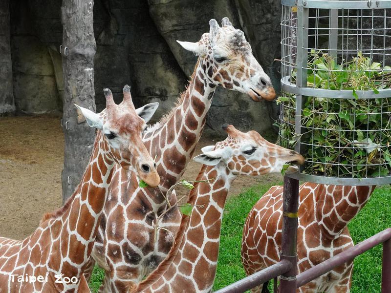 Giraffes at Taipei Zoo