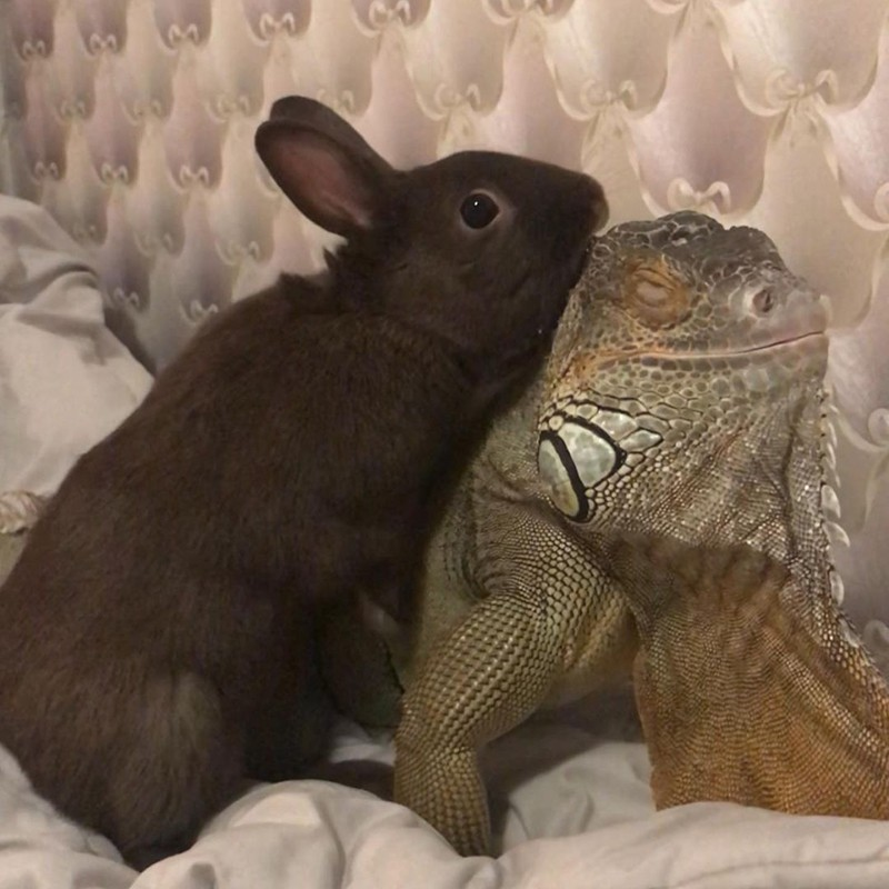 Rabbit and iguana