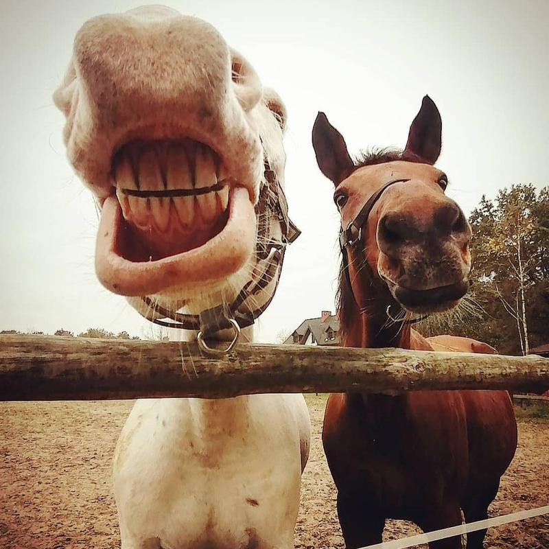 Horses Smiling Together