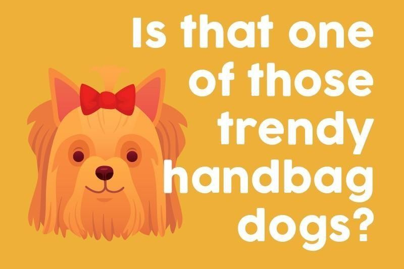 Is that one of those trendy handbag dogs?