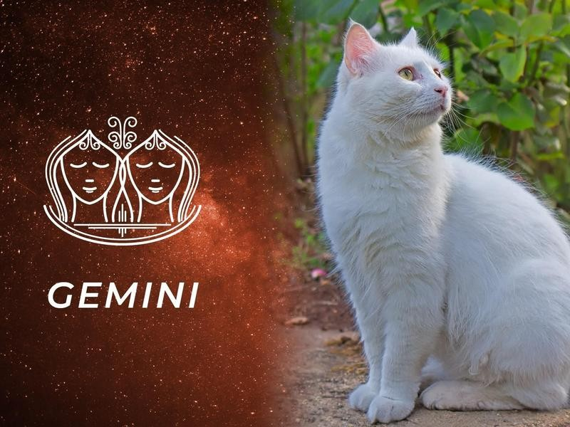 Gemini: Turkish Van