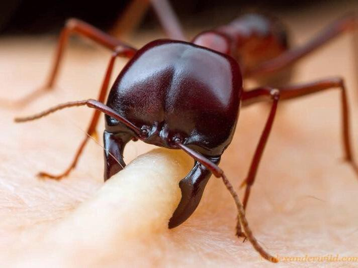 African Driver Ants