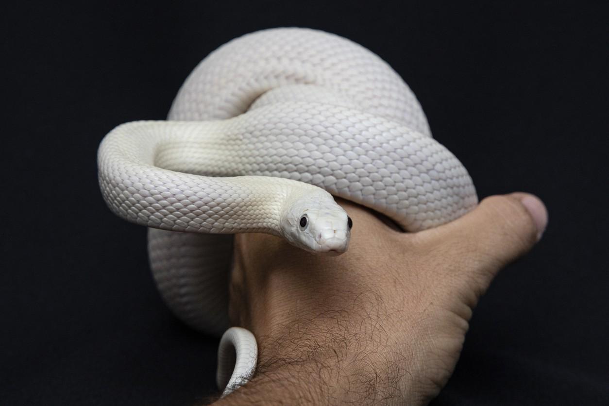 The Texas King Snake