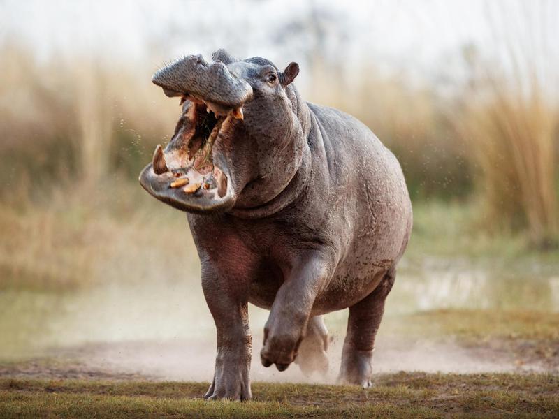 Aggressive hippo