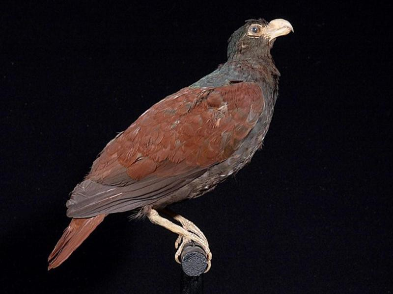 Tooth-Billed Pigeon